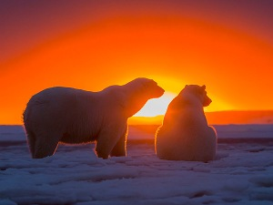 polar-bears-600x450